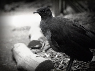 HealesvilleLyrebird - Copy