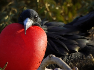 During the breeding season, male frigatebirds inflate their large, red gular pouches to attract mates.  Females lay one egg; the chick is white and only changes its plumage too black when it reaches adulthood.