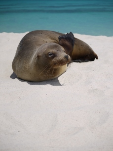 The closest relatives of these playful mammals are the Californian sea lions.