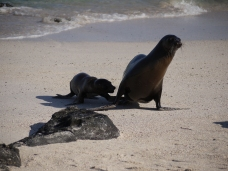 Galapagos sea lions live in harem colonies, with a dominant male guarding a group of up to 25 females and young.