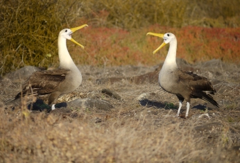 The mating dance of waved albatrosses - a critically endangered species.