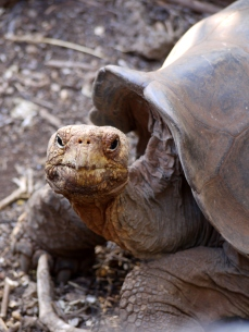"Arguably the most iconic animals of the archipelago, and the reason for its name: ""Galapago"" is an old Spanish word meaning tortoise."