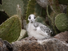 A young gull hidden between cacti - Genovesa Island.