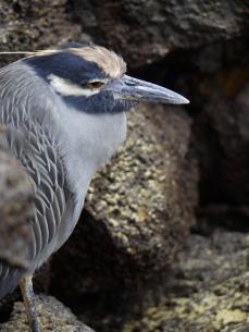 A heron resting at Genovesa Island.