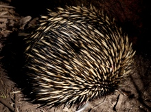 TarongaEchidna - Copy