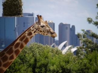 TarongaGiraffe
